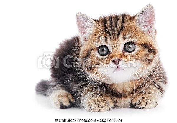 고양이 새끼, shorthair, 고립된, british, 고양이 - csp7271624