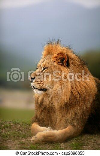 아름다운, 사자, 동물, 야생의, 초상, 남성 - csp2898855