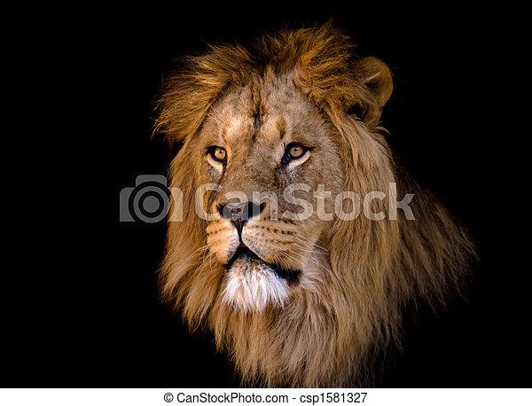 크게, 사자, 남성, african - csp1581327