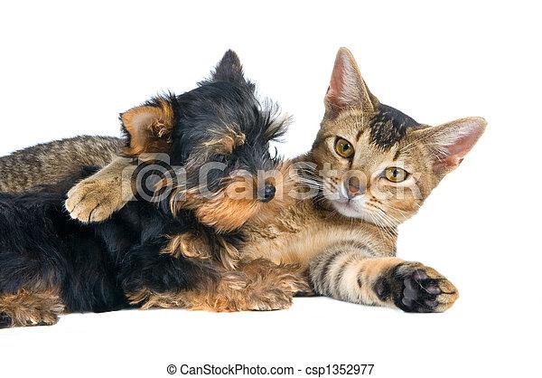 spitz-dog, 강아지, 고양이 - csp1352977